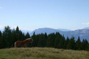 cavallo haflinger con dolomiti del brenta