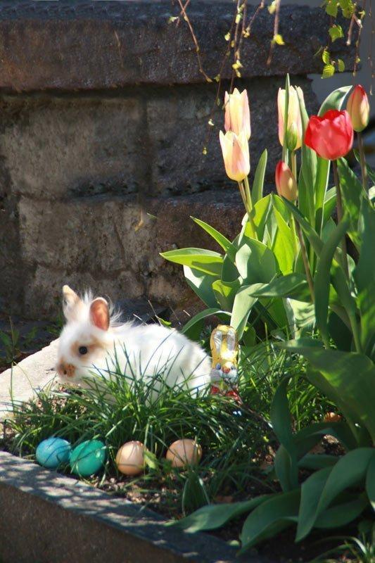 Ostern Löwenkopfkaninchen weiß mit Tulpen