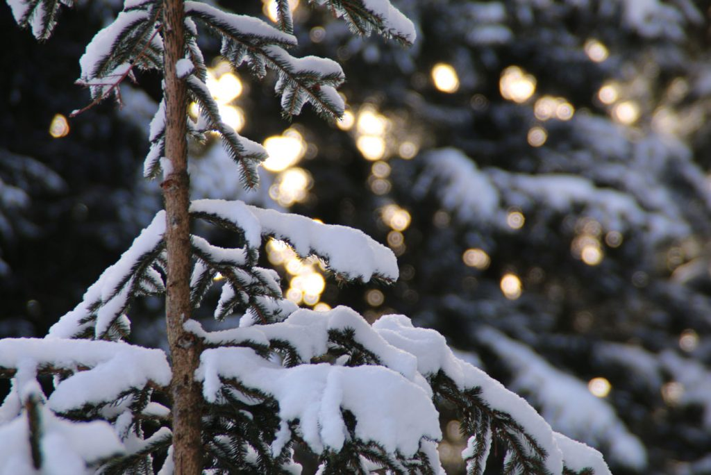 abete invernale con la neve