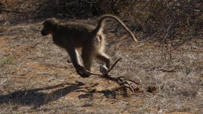 On part à la chasse aux photos dans le Kruger en Afrique du Sud - Une maman singe avec son bébé mort