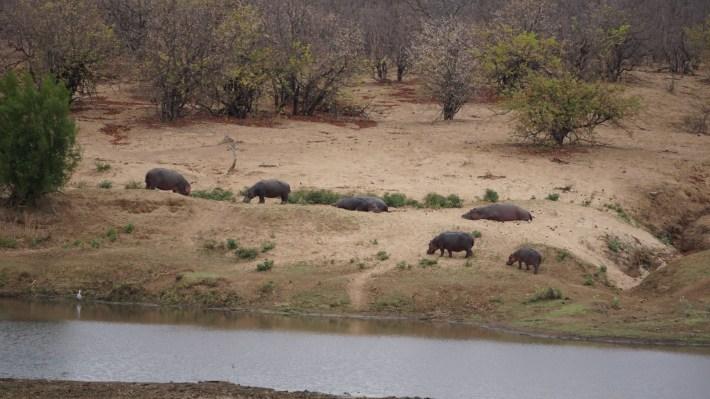 On part à la chasse aux photos dans le Kruger en Afrique du Sud - Un groupe d'hippopotame