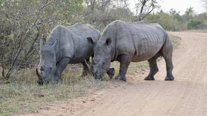 On part à la chasse aux photos dans le Kruger en Afrique du Sud - D'autres rhinos