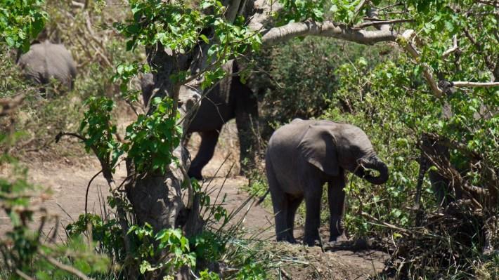 On part à la chasse aux photos dans le Kruger en Afrique du Sud - Un bébé éléphant