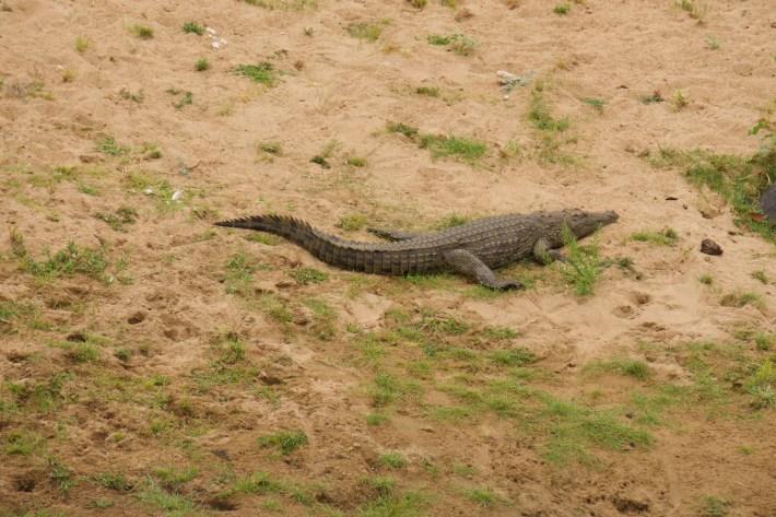 On part à la chasse aux photos dans le Kruger en Afrique du Sud - Un crocodile