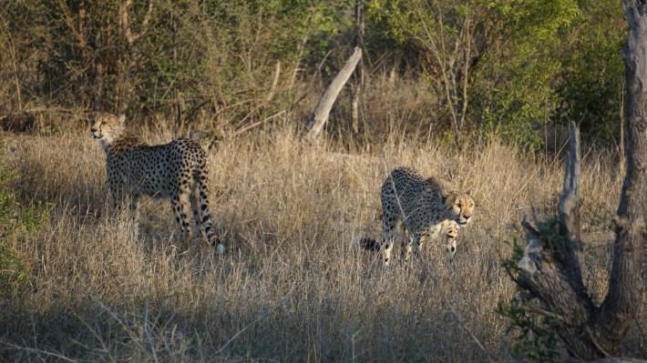 On part à la chasse aux photos dans le Kruger en Afrique du Sud - Une famille de guépard