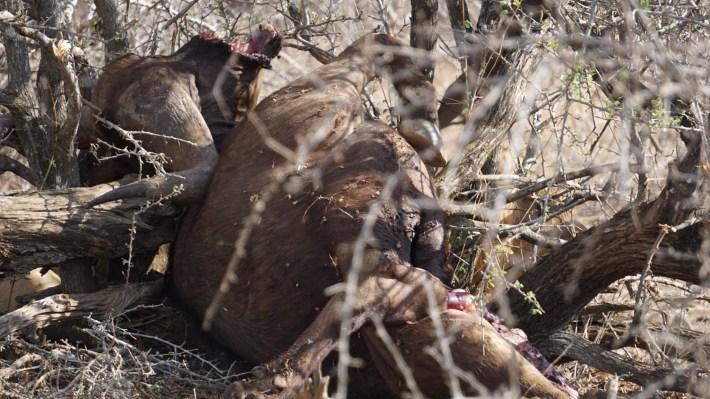 On part à la chasse aux photos dans le Kruger en Afrique du Sud - Un buffle dans l'arbre