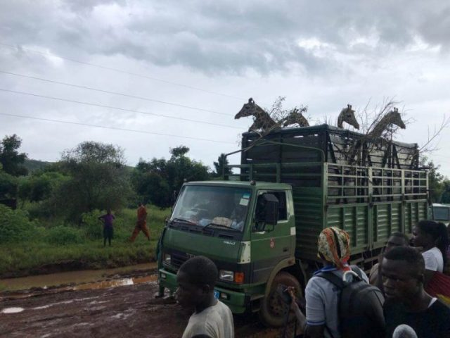 Giraffe translocation enhances tourism at Uganda wildlife reserve