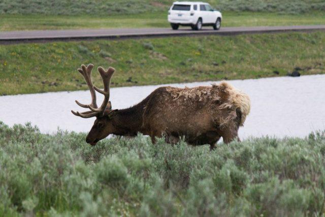 2016-06-10 Yellowstone-46