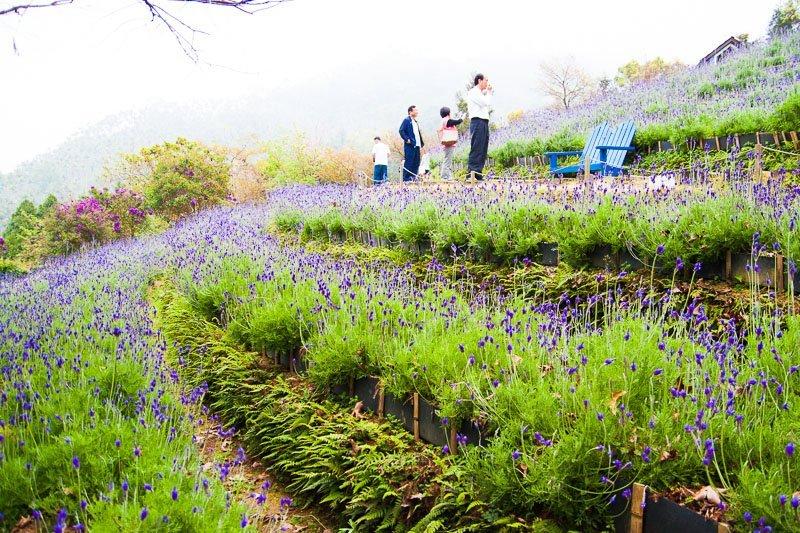 lavender fields at lavender cottage