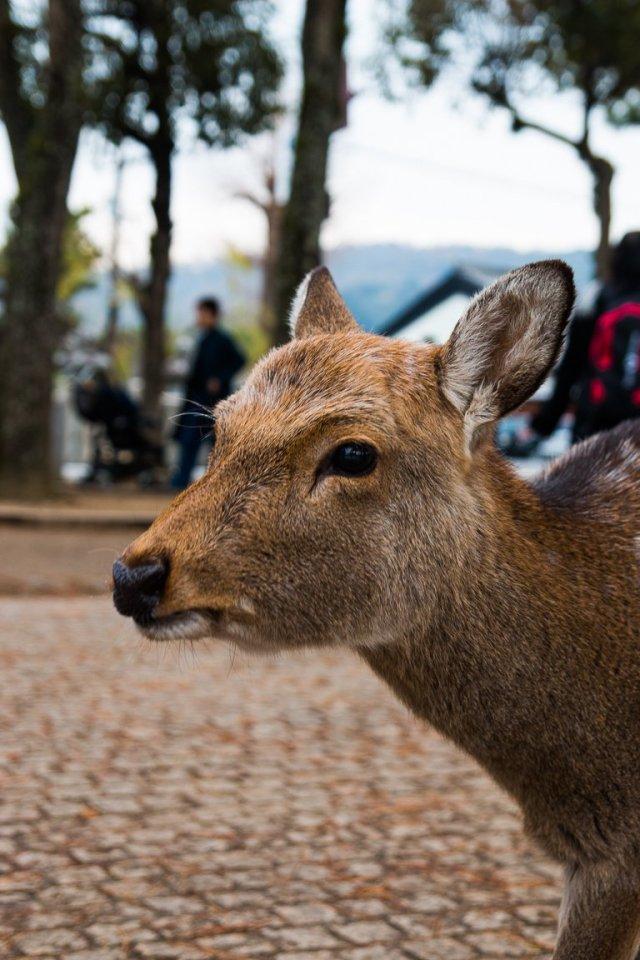 japan 10 day itinerary nara park deers