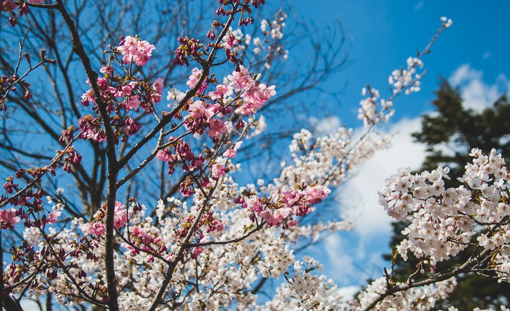 Cherry Blossoms in Lake Kawaguchiko, Late April, Spring, Japan