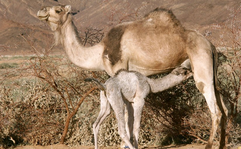 Camel calf feeding from her mother. File photo by Garrondo, Wikipedia Commons.