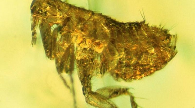 This flea preserved about 20 million years ago in amber may carry evidence of an ancestral strain of the bubonic plague. Credit: Photo by George Poinar, Jr., courtesy of Oregon State University.