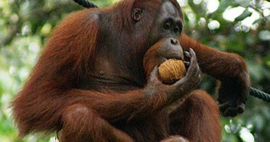 Orangutan eating a mature coconut. Photo by Eleifert, Wikipedia Commons.