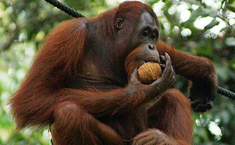 Orangutan eating a mature coconut. Photo by Eleifert, Wikipedia Commons.
