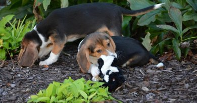Cornell University research leads to first puppies born by in vitro fertilization. Credit: Cornell University