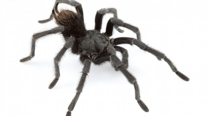 This is an adult male of Aphonopelma johnnycashi from California. Credit Dr. Chris A. Hamilton