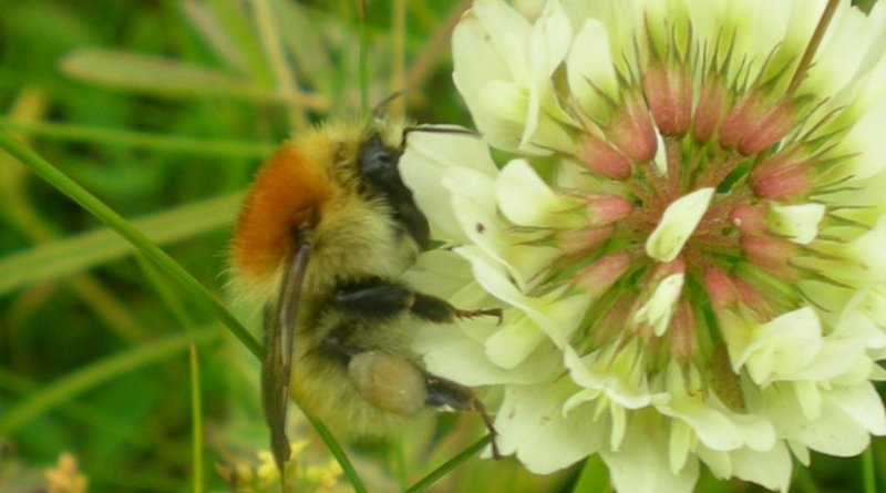 Large carder bee, Bombus muscorum on Trifolium repens - Dara Stanley