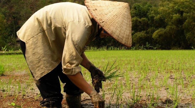 Farmer planting rice in Vietnam.