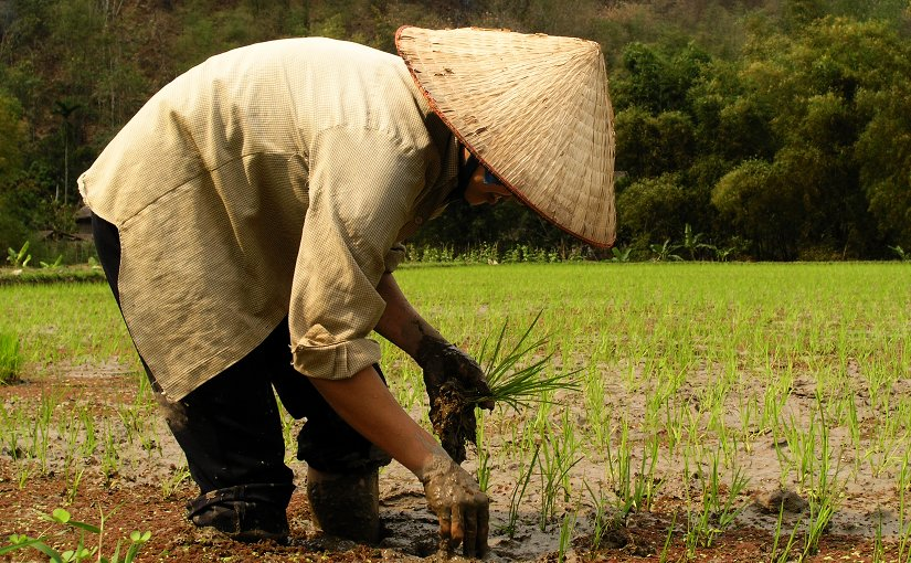 Farmer planting rice in Vietnam.