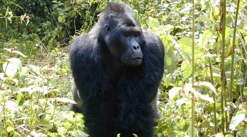 Smithsonian Tropical Research Institute staff scientist and his team risked their lives to estimate the number of Grauer's gorillas remaining in 1996, 17,000. A new survey puts the number of gorillas at 3,800. Credit Jefferson Hall, STRI