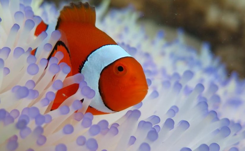 """Clownfish, the star of Disney's """"Finding Nemo"""" and the upcoming sequel, are at risk because of the increase bleaching of their homes, sea anemones. The uptick is due to a rise in ocean temperatures. Credit Credit Jessica Stella/ Great Barrier Reef Marine Park Authority"""