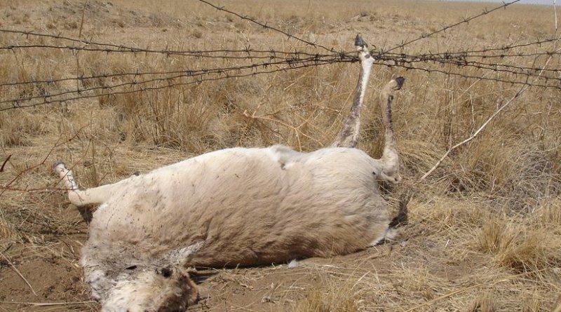 Mongolian gazelle entangled in wire on Mongolia – Russia border – Photo by G. Sukhchuluun