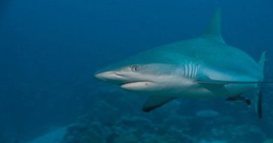 This is a grey reef shark. Scientists working for Murdoch University, the Wildlife Conservation Society, The Nature Conservancy, and other groups have found that fishing closures established in Indonesia's shark sanctuary are good for sharks and other fish, but bad for people who rely on shark fishing for their livelihoods, who have few other options but to fish in unprotected areas when fishing closures are put in place and sometimes participate in illegal practices. Credit Steve Lindfield