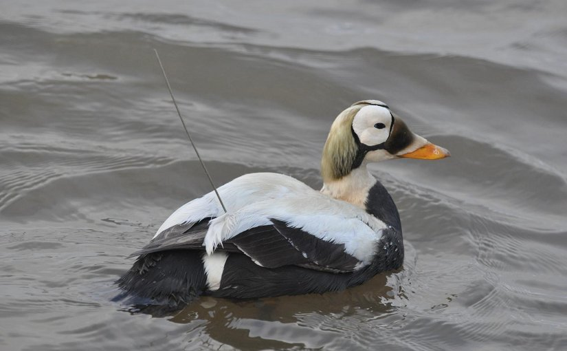 A male Spectacled Eider wears a surgically implanted satellite transmitter after its release in northern Alaska. Credit USGS