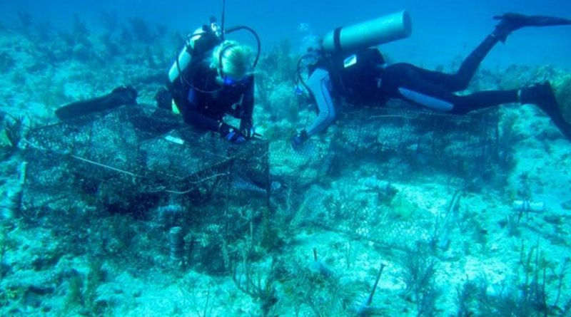 Data from three years of experiments on reefs in the Florida Keys suggests that widespread coral deaths, including an ongoing global coral bleaching, are being caused by a combination of multiple local stressors and global warming. (Photo by A.M.S. Correa/Rice University) Credit (Photo by A.M.S. Correa/Rice University)