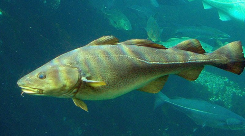 Atlantic Cod. Photo byHans-Petter, Wikipedia Commons.