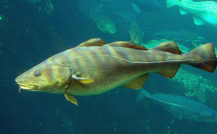 Atlantic Cod. Photo byHans-Petter, Wikipedia Commons.