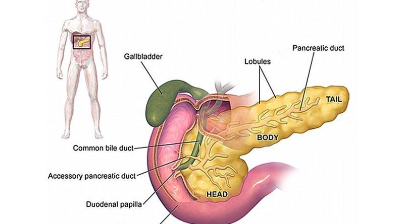 Anatomy of pancreas. Source: Wikipedia Commons.