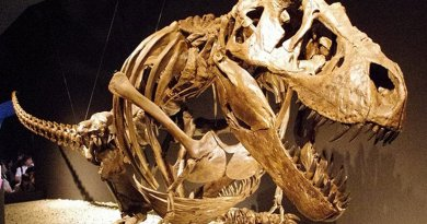 Skeleton of Tyrannosaurus rex. Photo by ssr ist4u, Wikipedia Commons,