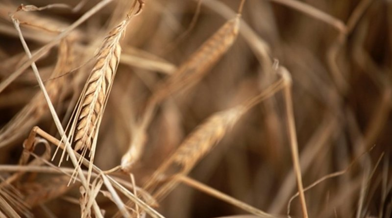 File photo of a normal barley plant.