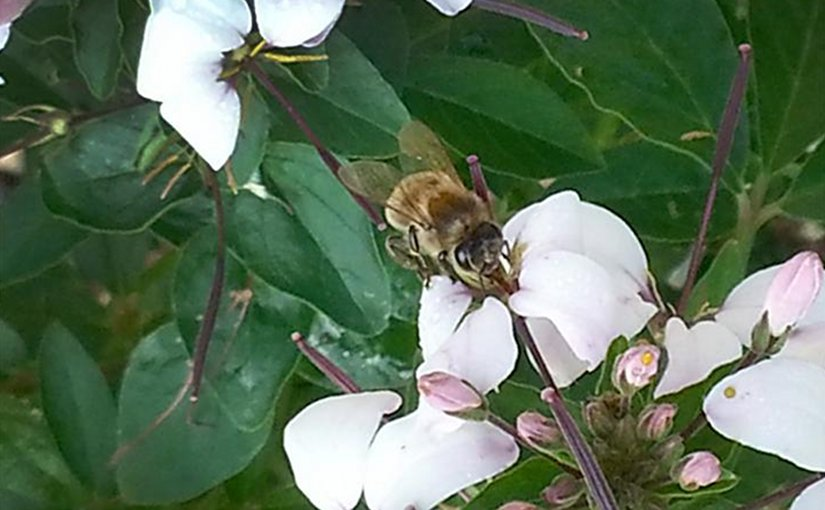 A honey bee forager collecting nectar from a cleome flower. Bees make honey from nectar. They also collect pollen, which they convert into bee bread. Credit Kirsten S. Traynor