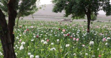 Opium poppy field in Gostan valley, Nimruz Province, Afghanistan. Credit: Wikimedia Commons.
