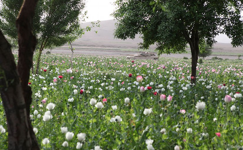 Opium poppy field in Gostan valley, Nimruz Province, Afghanistan. Credit: Wikimedia Commons.
