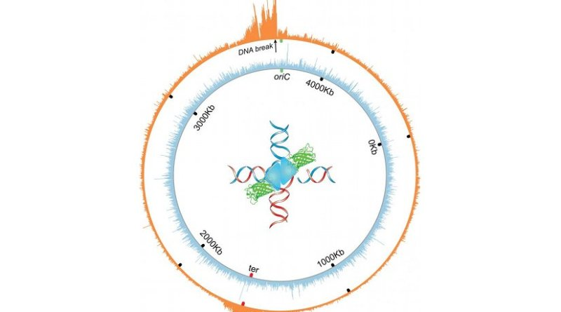 The orange wheel shows the circular chromosome or genome of E. coli bacteria. The spikes indicate where a molecular intermediate in DNA repair -- four-way DNA junctions -- accumulate near a reparable double strand break in the genome. Credit Image courtesy of Jun Xia and Qian Mei