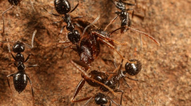This is a Lepisiota dispatching Pheidole ant. Credit D. Magdalena Sorger
