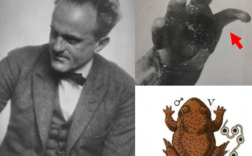 At left, the controversial scientist Paul Kammerer. Upper right: An image of the fingers of an experimental male midwife toad, showing a rugose nuptial pad (red arrow). Lower right: A schematic illustration from a paper by Kammerer of an experimental water-breeding male midwife toad.