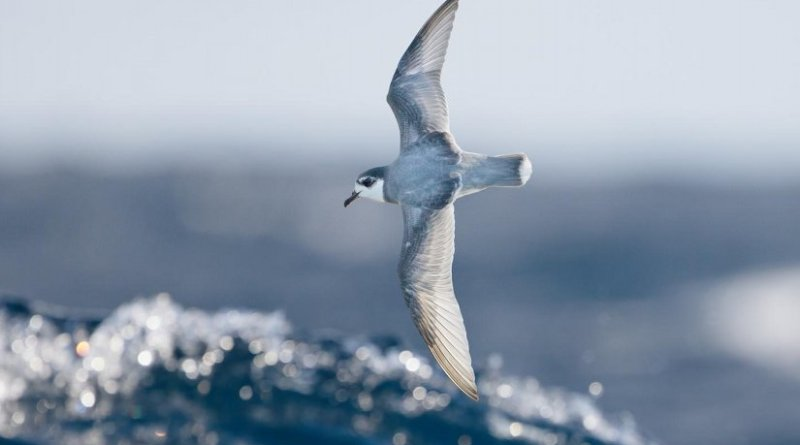 Some species of seabirds, including blue petrels, are particularly vulnerable to eating plastic debris at sea. Credit J.J. Harrison