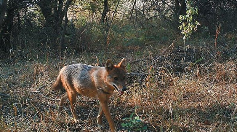This is a photograph of the golden jackal (Canis aureus) individual in the summer. Credit: Klára Pyšková