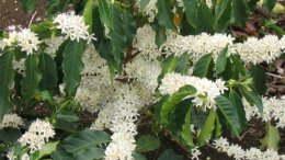 Flowering branches of Coffea arabica. Photo by Marcelo Corrêa, Wikipedia Commons.