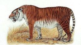 his is an artist's depiction of a Caspian tiger. Credit Heptner and Sludskiy 1972