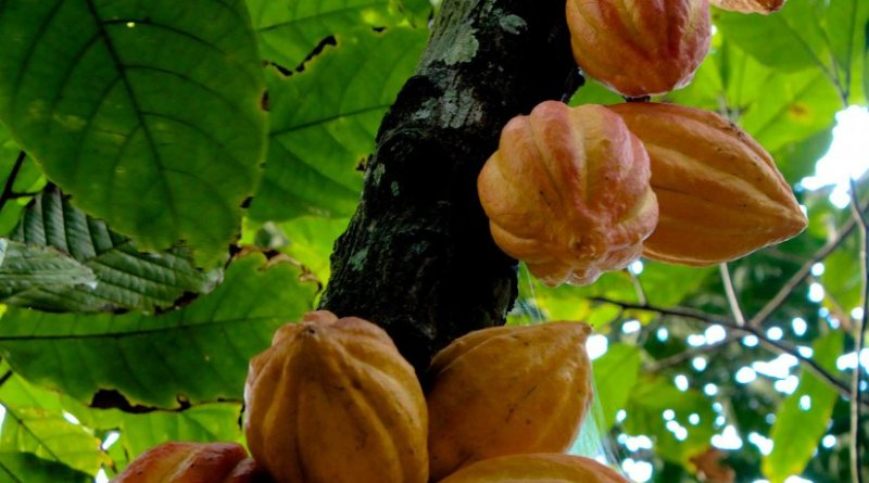 Cacao (Theobroma cacao). Photo by Luisovalles, Wikipedia Commons.