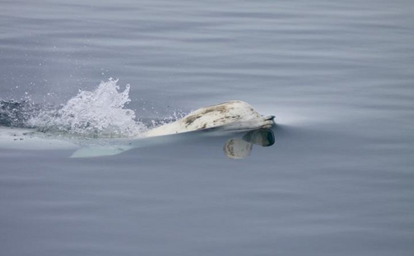 A beluga whale surfaces for air. Credit Kate Stafford/University of Washington