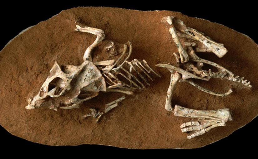 This is a photo of a hatchling Protoceratops andrewsi fossil from the Gobi Desert Ukhaa Tolgod, Mongolia. Credit © AMNH/M. Ellison