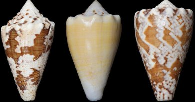 The compound (RgIA) in the study was obtained from the venom of Conus regius, the royal cone. Credit My Huynh