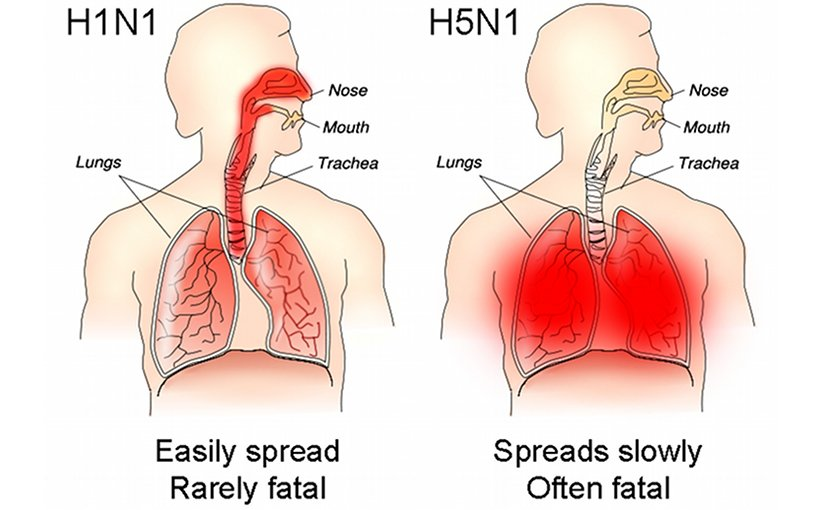 The different sites of infection (shown in red) of seasonal H1N1 versus avian H5N1 influences their lethality and ability to spread. Source: Tim Vickers, Wikipedia Commons.